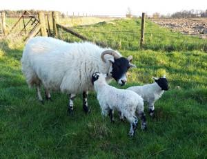 Maggie & lambs